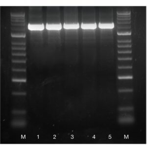 IMMOLASE DNA Polymerase    /  500 Units