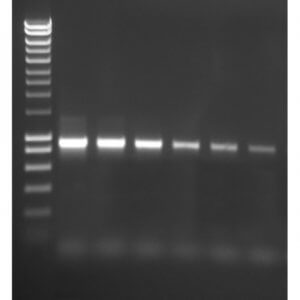 ACCUZYME DNA Polymerase   /  250 Units