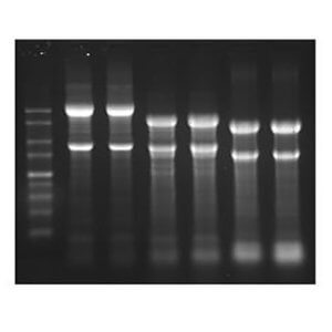 ISOLATE II RNA/DNA/Protein Kit/50